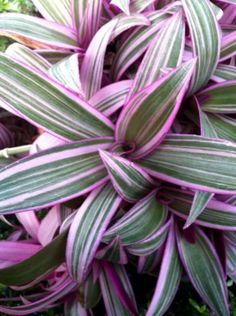 Variegated Moses in the Cradle (Tradescantia spathacea variegata) - Indoor and Windowsill Plants - Indoor Best Indoor Plants, Outdoor Plants, Garden Plants, Outdoor Gardens, Purple Plants, Tropical Plants, Purple Orchids, Unusual Plants, Shade Perennials