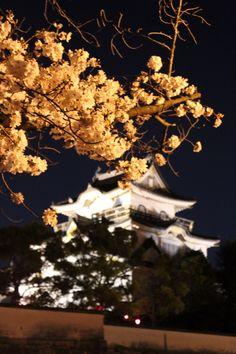 岸和田城は八分咲き(≧∇≦)