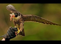 Fastest Bird Peregrine falcons dive toward their prey at over 200 mph. A young male peregrine falcon ate meat taken from the protective glove of Taronga Zoo bird trainer Erin Stone (unseen) following a short flying lesson in Sydney on Dec. 9, 2009.