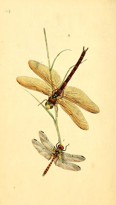 - The natural history of British insects : - Biodiversity Heritage Library Illustration Botanique, Botanical Illustration, Illustration Art, Vintage Botanical Prints, Botanical Art, Botanical Drawings, Dragonfly Wall Art, Dragonfly Painting, Nature Drawing