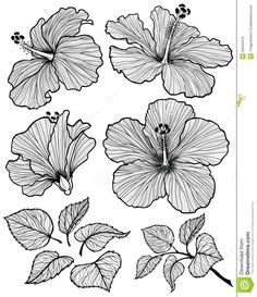 Hibiscus flower graphic head set with leaves and branch with leaves isolated on white background. Vector illustration, hand-drawn. #hibiscusflower #hibiscusbush