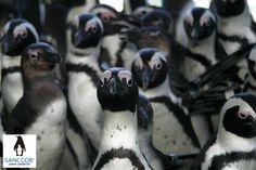 African Penguins at SANCCOB