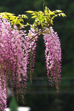 Reminds me of the Weeping Grove in the AP Park - ooh yeah: Kawachi Wisteria Garden, Kitakyushu, Fukuoka, Japan