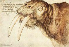 walrus drawing by albrecht durer