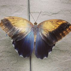 Iridescent Caligo illonius