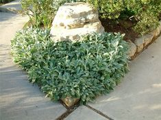 Plant photo of: Stachys byzantina - Lamb's Ear - has blue and/or lavender colored flowers
