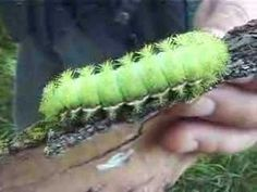 VENOM CATERPILLAR # 4 LIVING IN STATEN ISLAND  Io moth caterpillar