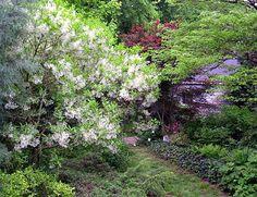 Chionanthus (Fringe Tree)