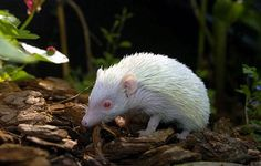 The ARKAN SONNEY is a fairy pig of Manx folklore. Also called 'Lucky Piggy' in English, it is usually described as white with red ears, like many Celtic supernatural animals. It can alter its size, but apparently not its shape. It is thought to bring luck, but is difficult to catch. It is often identified with the hedgehog.