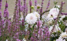 Die weißen Blüten der Dahlie bilden einen hübschen Kontrast zum lila-violett blühenden Blut-Weiderich (Lythrum salicaria)