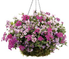 Head Of Class Hanging Basket - For A Sunny Location