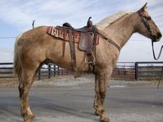 Horses For Sale : Quarter Horse : Kentucky Big & Pretty Chocolate Palomino Gelding, Gentle $2000 9yrs