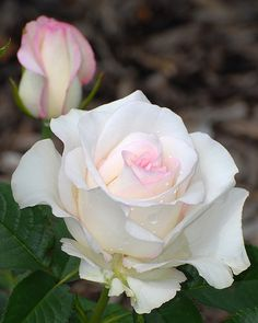 Avert, Manage, And Eliminate Black Mildew Rosas. Amazing Flowers, Beautiful Roses, White Flowers, Beautiful Flowers, Love Rose, Color Rosa, Flower Pictures, Trees To Plant, Pink Roses