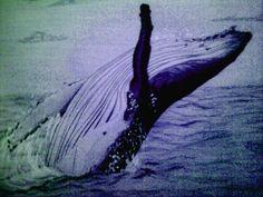 A jumping humpbackwhale