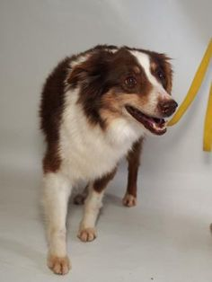 Petango.com – Meet Scarlett, a 9 years 10 months Australian Shepherd, Miniature available for adoption in COLORADO SPRINGS, CO
