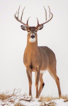 Beautiful buck captured by Jeffrey Schrompf. This may be the most beautiful deer I have ever seen! Whitetail Deer Pictures, Whitetail Deer Hunting, Deer Photos, Whitetail Bucks, Large Animals, Animals And Pets, Cute Animals, Nature Animals, Woodland Animals