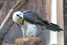Post with 48 votes and 2036 views. Feathered Dragon, Harpy Eagle, Pewter Color, Birds Of Prey, Animal Pictures, Wildlife, Creatures, Animals, Dragons