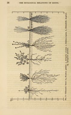 """Image from page 49 of """"The ecological relations of roots"""" Floral Illustrations, Botanical Illustration, Science And Nature, Earth Science, Root System, Heuchera, Cartography, Permaculture, Botanical Prints"""