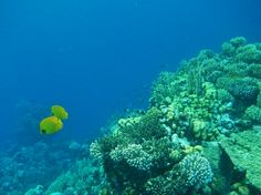 Butterfly fish at the reefs in front of Three corners Fayrouz plaza, Port Ghalib, Egypt