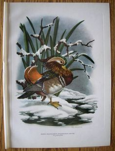 Birds: MANDARIN DUCK By Axel Amuchastegui Large Lithograph