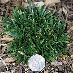 """Ophiopogon japonicus """"Super Dwarf"""" - """"Kyoto Mondo"""" - At this super dwarf variety of Mondo Grass appears as a very tight, compact and shorter version of 'Nana', with tiny, narrow green foliage. zone 5 or 6 -check! Dwarf Mondo Grass, Good Customer Service, Ornamental Grasses, Kyoto, Herbs, Yard, Compact, Green, Tuin"""