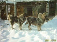 Sarplaninac Dog Breed Information and Pictures Big Mountain, Mountain Dogs, Toxic Foods For Dogs, Caucasian Shepherd Dog, Types Of Dogs, Two Dogs, Dog Breeds, Dogs And Puppies, Pets