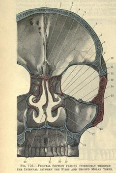 A rare and interesting illustrated view from inside the skull, looking out through the orbits and nasal cavity.  From 'A Textbook of anatomy', 5th edition by D. J. Cunningham, 1918. ~~ www.facebook.com/TheIrregularAnatomist ~~ www.twitter.com/Irr_Anatomist
