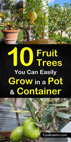 Here are 10 fruit trees you can easily grow in a pot or container if you're dealing with small spaces. With ever shrinking backyards, learn how to grow plants in containers and pots. You can grow fruit trees from seed in containers and pots. #containerplants #growtrees #fruittree #fruittreesinpots Fruit Trees In Containers, Potted Fruit Trees, Fruit Tree Garden, Dwarf Fruit Trees, Growing Fruit Trees, Fruit Plants, Garden Trees, Trees In Pots, Plants In Pots