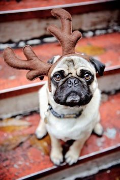 the elk pug....or is it a reindeer pug?!? Holiday Dogs Happy New Year Puppy #NewYear Puppies Merry Christmas #2013