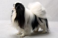 Mimi the Japanese Chin. Mimi, registered as Pem We-Syng Lucky Mi, is owned by James Dalton, John Turjoman and Marsha Ballard. (Fred R. Conrad, a New York Times photographer, set up a studio at the 2013 Westminster Kennel Club dog show and invited Best of Breed winners to pose.)