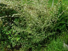 Cotoneaster franchetii Small white pink tinged flowers in June are followed by orange-red berries. Oval, grey-green leaves, white beneath, semi-evergreen. Height and Spread a graceful arching shrub to about 2 to 3 metres. Sun or part shade, most soil types.