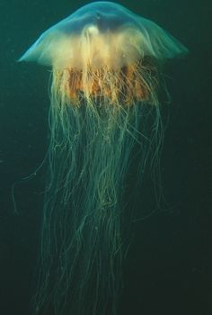 The Lion's Mane Jellyfish (Cyanea capillata) is the largest known species of jellyfish, reaching diameters of up to 8.2 ft.    Photo credit: Derek Keats
