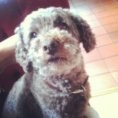 Poodle :)    Like and repin please :)