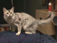 Photo Somali Cat