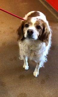 Adopt Matilda Mae Tilly On Brittany Spaniel Dogs Dogs Matilda