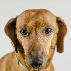 Eliminate Over 30+ Common Behavioral Dachshund Issues - dackel #dachshund