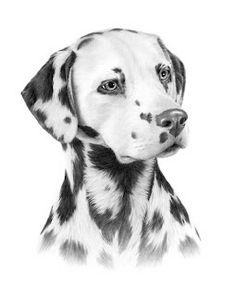 Hand drawing of a dalmation - Really well done