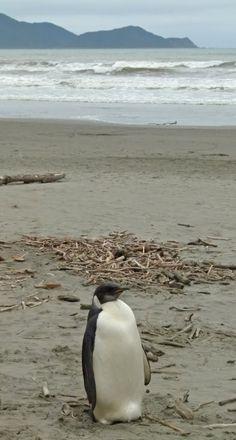 """Emperor Penguin (""""Happy Feet"""") at Peka Peka beach, Kapiti Coast, New Zealand"""
