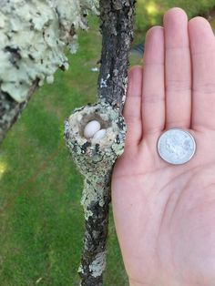 Hummingbird nest.