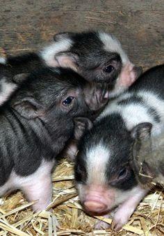 Royal Dandie Piglets