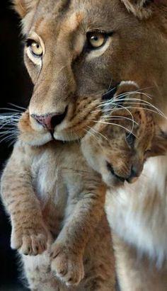 Foto Animals And Pets, Baby Animals, Cute Animals, Wild Animals, Royal Animals, Beautiful Cats, Animals Beautiful, Big Cats, Cats And Kittens