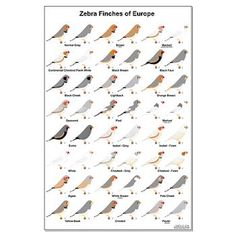 Zebra Finch Mutations | European Zebra Finch Mutations Large Poster