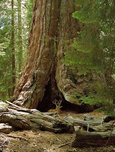 Mammoetboom 'Grizzly Giant' in Mariposa Grove, Yosemite National Park, Verenigde Staten