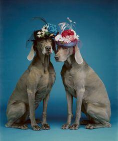 Whether you grew up laughing at SNL or Sesame Street, the Weimaraner-focused work of William Wegman surely captured your imagination. William Wegman, Weimaraner, All Dogs, I Love Dogs, Dogs And Puppies, Doggies, Dogs 101, Animals And Pets, Cute Animals