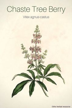 Chaste Tree Berry Herb - Benefits, Uses and Side Effects