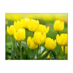 Gelbe Blumen. Unterschätzte Glücklichmacher im Garten. Plants, Yellow Tulips, Orange Flowers, Day Lilies, Summer Flowers, Flowers Garden, Shade Perennials, Plant, Planets