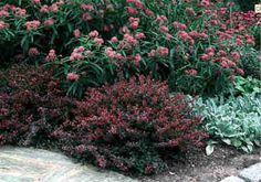 Berberis Thunbergii Crimson Pygmy Barberry Type Shrub Woody Plant Hardy Range 4a To 7b Height