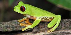 XARONCA, LA: sust. Animal batraciu de los xéneros Rana, Hyla, [xeneralmente de color verde con pintes negres y coles pates traseres perllargues pa dar blincos grandes]. Fuente: DALLA.