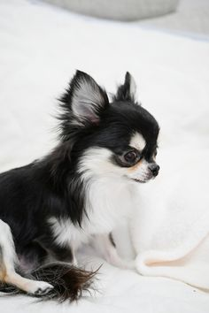 Teacup Chihuahua, Chihuahua Puppies, Cute Puppies, Cute Dogs, Dogs And Puppies, Chihuahuas, Cute Little Animals, Puppy Pictures, Animals Beautiful