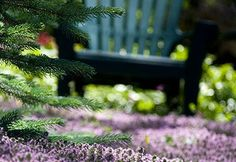 In an effort to reduce water use and time spent caring for lawns, some gardeners are replacing their turf with thyme. Thyme is an ideal grass alternative.